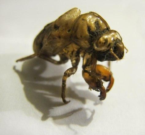 Cicada18Web.jpg