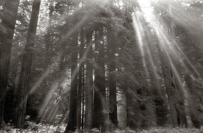 Redwoods1Print.jpg