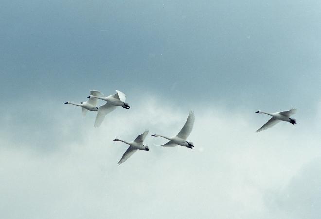 Tundra Swans.jpg